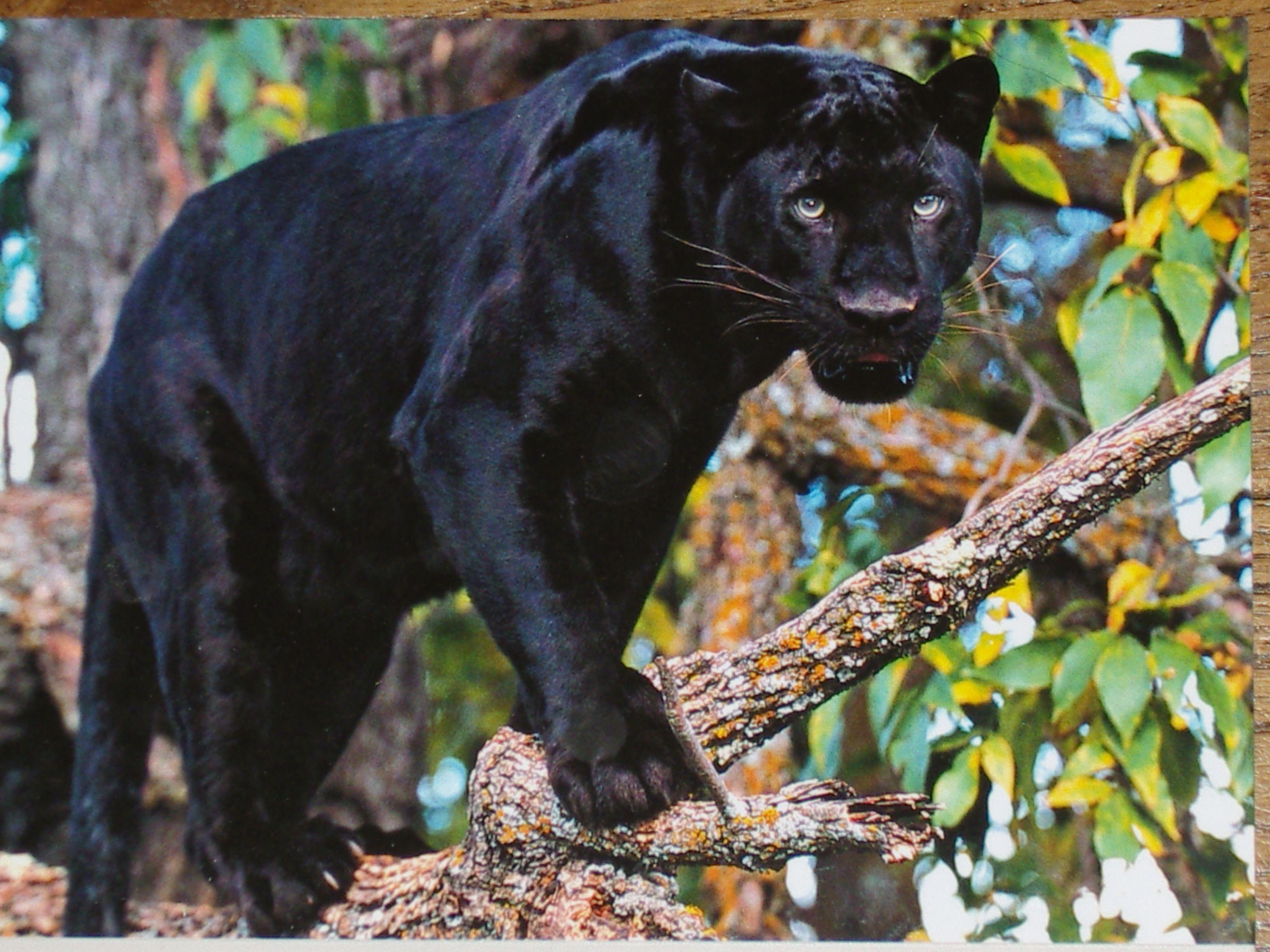 Panth re noire - Bebe du jaguar ...
